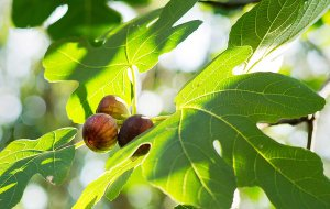 image from http://www.nytimes.com/2012/08/29/dining/in-brooklyn-an-abundance-of-fig-trees.html?pagewanted=all